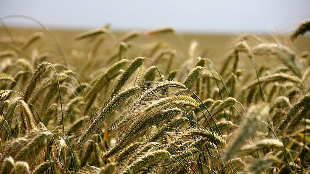 Russland könnte zweites Jahr in Folge größter Weizenexporteur werden