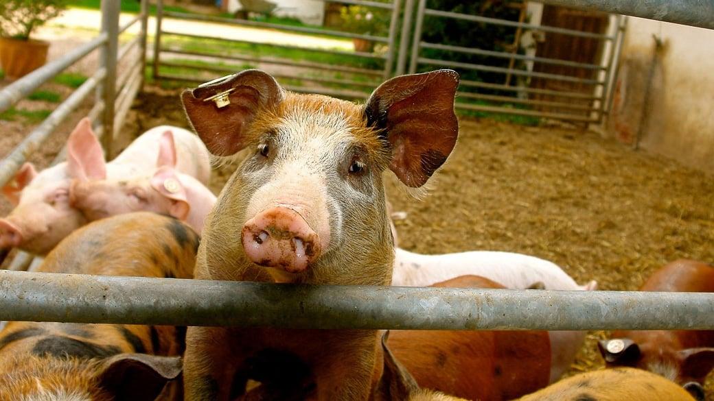 WTO: Importverbot Russlands für Schweine aus der EU nicht rechtens