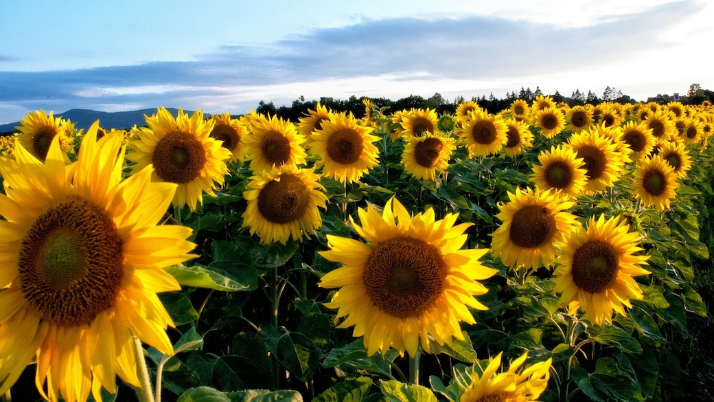 Russischer Sonnenblumenkern-Export in die EU